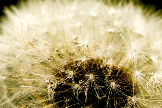 Dandylion Seed Head