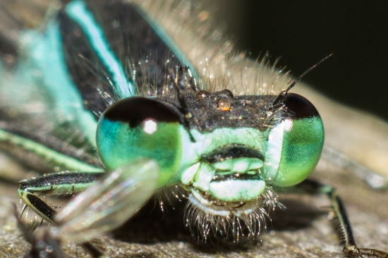 Eye of a Damsel Fly