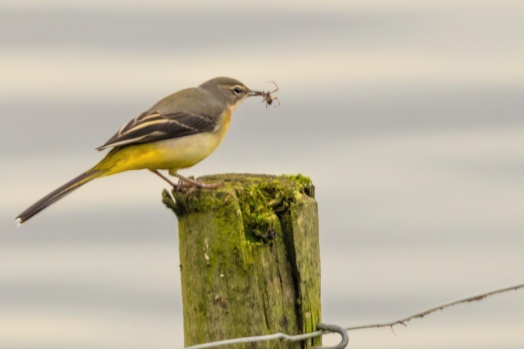 wagtail and spider3
